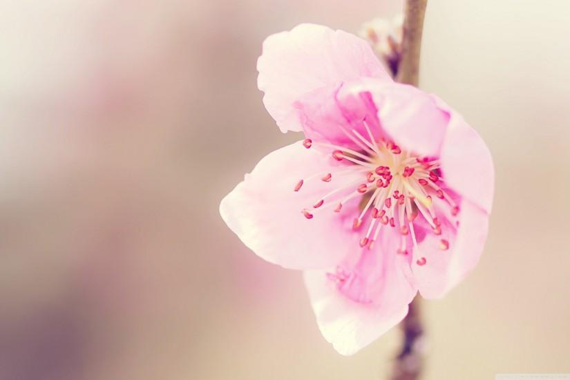 ... Amazing-Pink-Peach-Flowers-Wallpapers-HD-Pictures ...