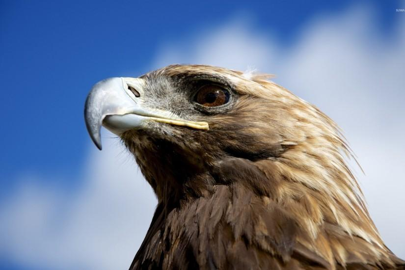 Golden eagle wallpaper