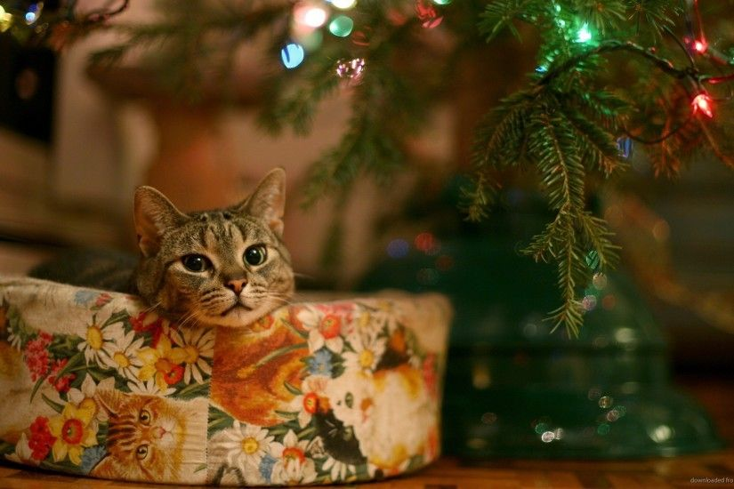 Christmas present cat picture