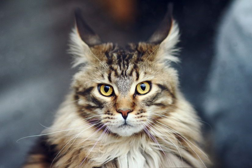 Maine Coon Cats Wallpapers | Maine Coon Cat Images | Cool Wallpapers