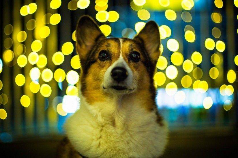 Hi Res Corgi Wallpaper.