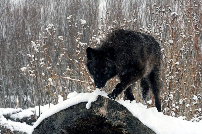 black-wolf-wallpapers wolf animal HD free wallpapers backgrounds .