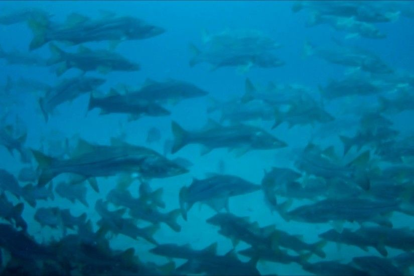 Unbelievable Underwater Footage of Snook Spawning Population at Port  Everglades - YouTube