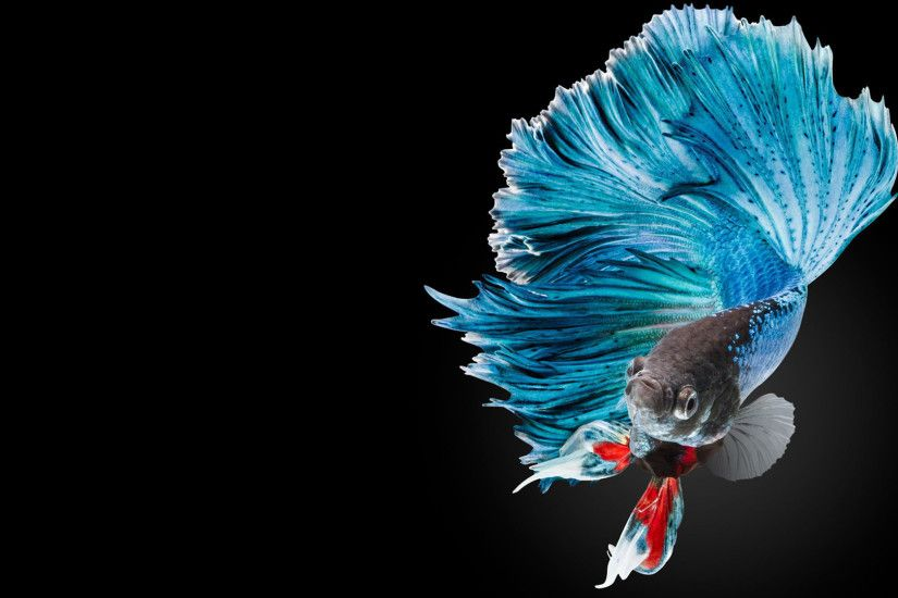 ... Halfmoon Betta Wallpaper 1 of 7 - Blue Halfmoon