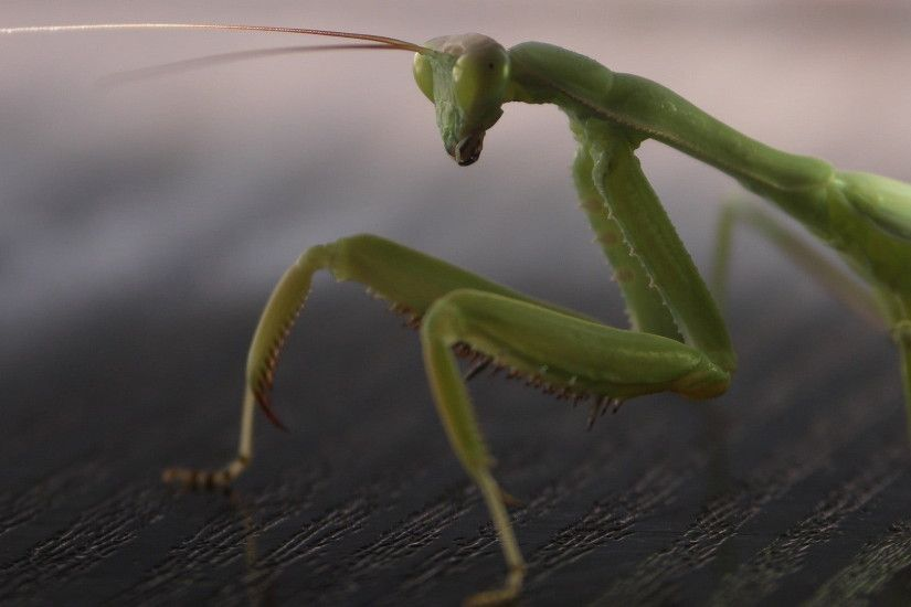 close-up photgraphy green Praying mantis HD wallpaper