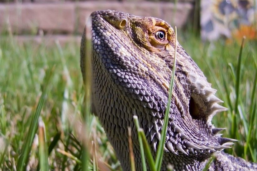 1920x1080 Wallpaper lizards, bearded dragon, grass, dangerous, reptile