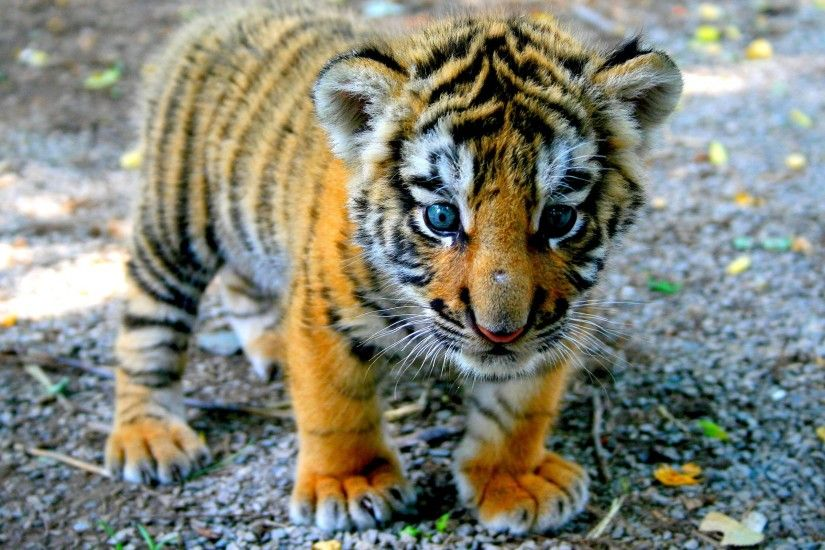 Cute Tiger Cub wallpapers and stock photos