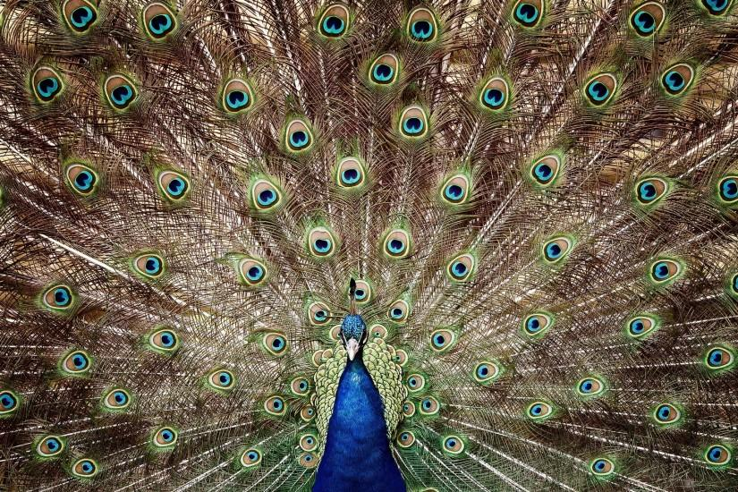 Amazing tail of a peacock wallpaper