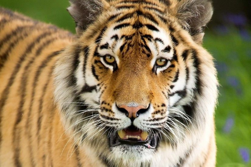 Wallpaper Tiger, Aggression, Face, Mouth open