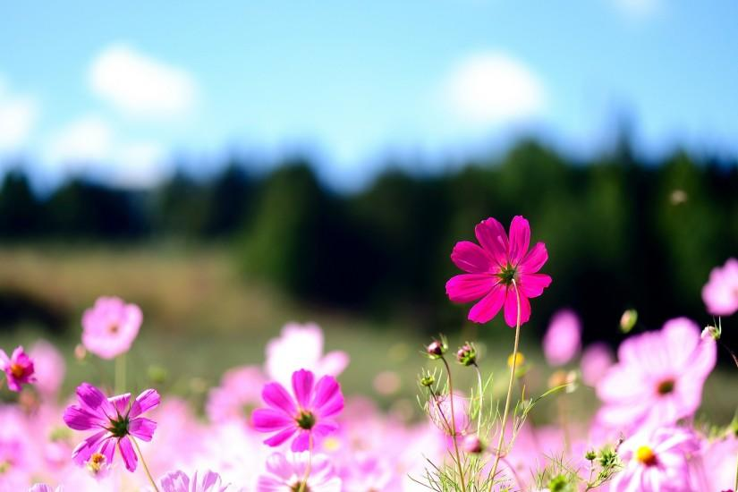 Cool Flowers Desktop Backgrounds: Pink Flowers High Definition .