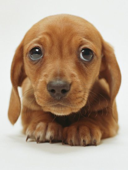 Image - Animal-wallpapers-cute-brown-puppy-wallpaper-33466.jpg |  PlayStation All-Stars Wiki | FANDOM powered by Wikia