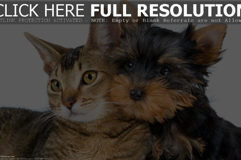 Yorkshire Terrier (id: 201238)