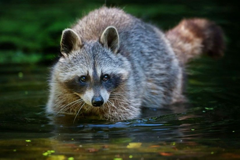 raccoon free