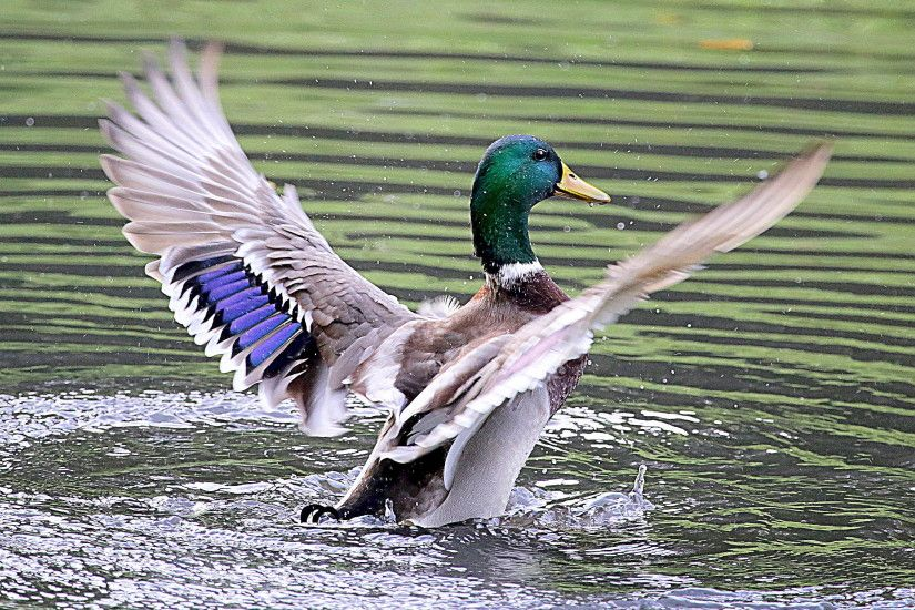 mallard duck flapping its wings on water, ducks