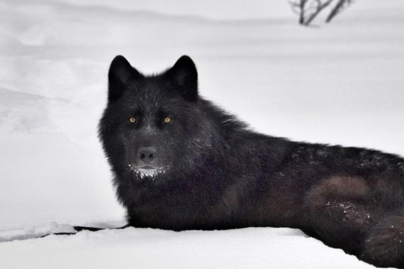 Animals For > Black Wolf Wallpaper Desktop
