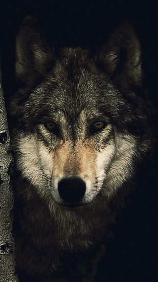 <b>Wolf</b> | <b>Mobile Wallpapers</