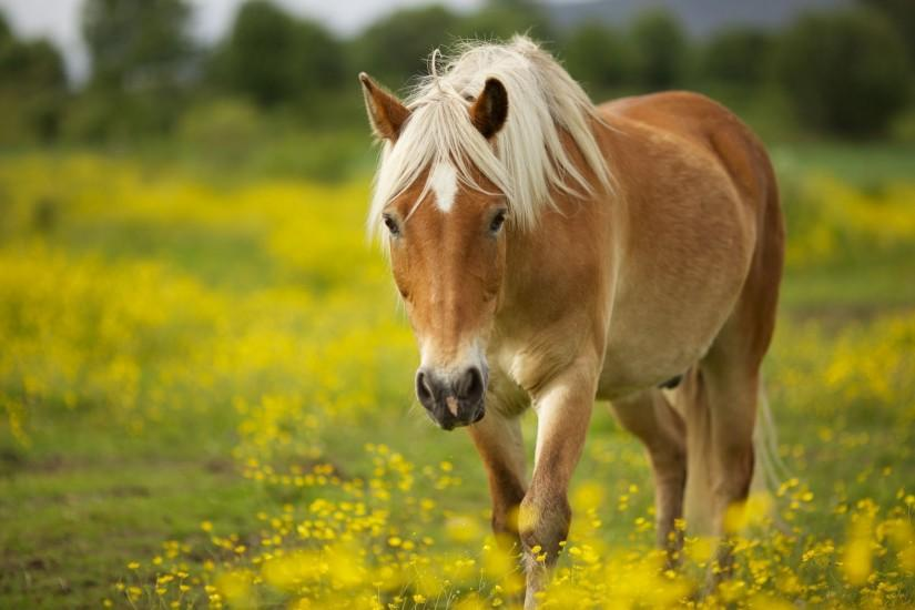 Horse Wallpaper Hd Backgrounds 992 Full HD Wallpaper Desktop - Res .