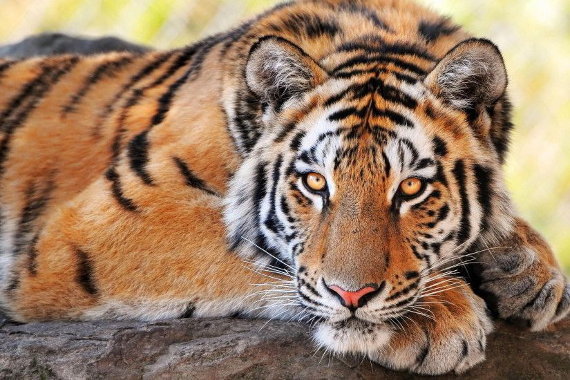 tiger picture. Tiger Wallpapers and Pictures