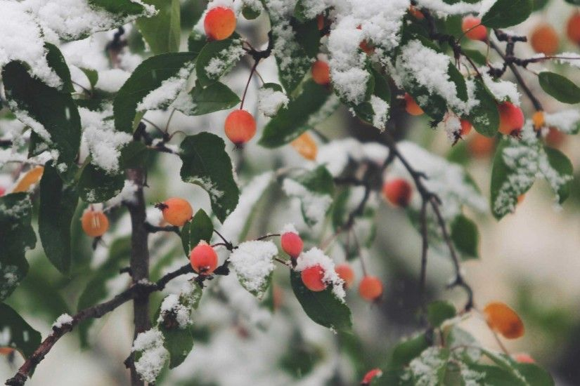 Full Screen Wallpaper of a tree with berries and snow