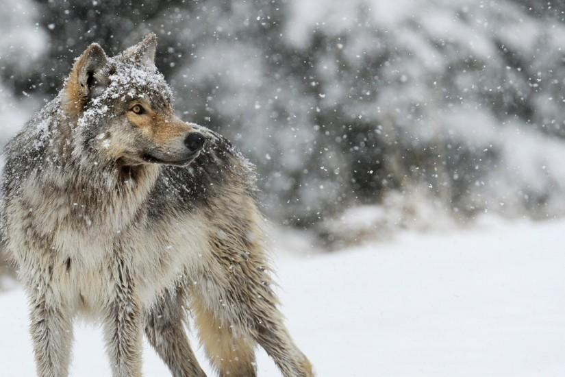 most popular wolf wallpaper 1920x1080 for samsung galaxy