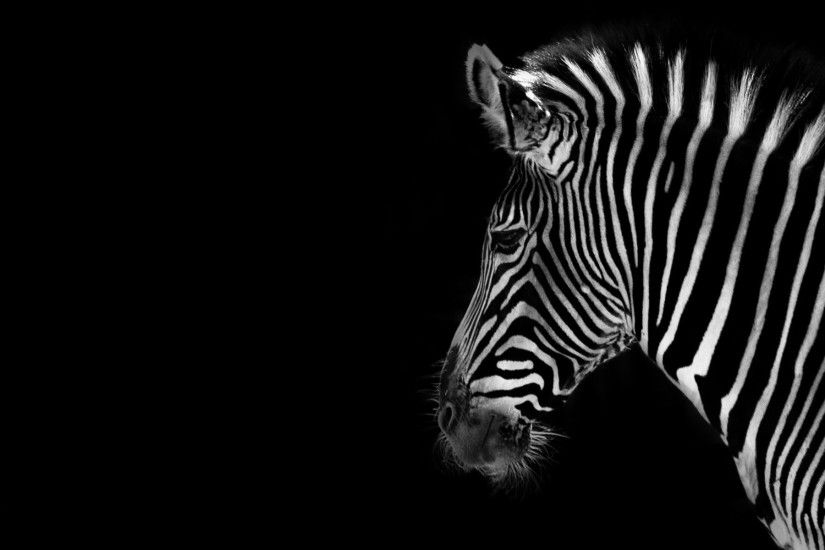 Desktop hd pink black zebra wallpaper 3d hd pictures.