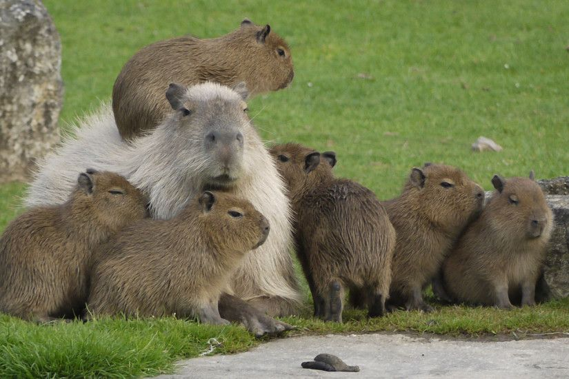 Beautiful Capybara Wallpaper | Ozon.LIFE Wallpapers