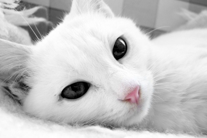 White Cat Hd Wallpapers Free Download | HD Free Wallpapers Download