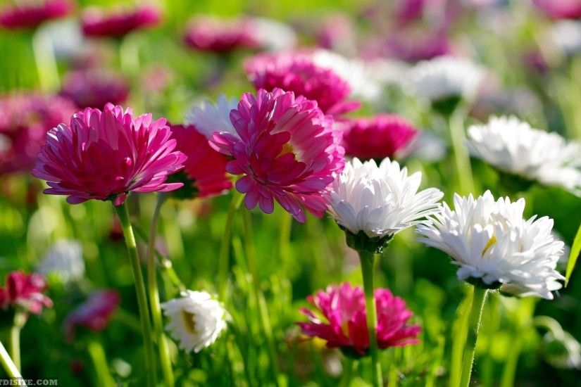 Most Beautiful Flower HD Wallpaper Image Pictures And Free Download