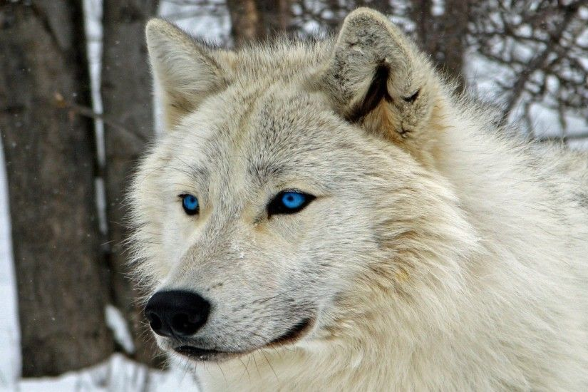 Collection of Free Wolf Wallpapers on HDWallpapers Wolve Wallpapers  Wallpapers)