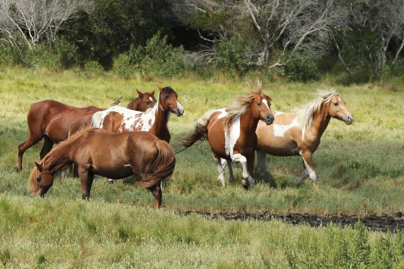 Chincoteague ponies Assateague ponies wild horses horse wallpaper |  2048x1295 | 166373 | WallpaperUP