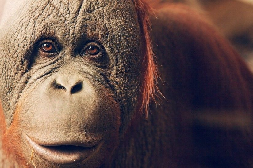 animals, Apes, Orangutans Wallpapers HD / Desktop and Mobile Backgrounds