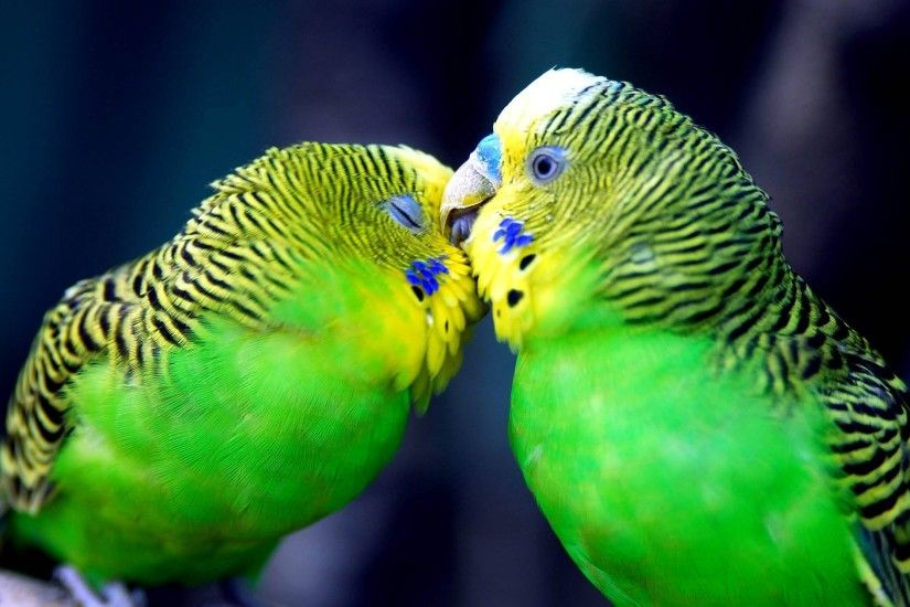 【2017】 Cute Love Bird Colorful Parrot HD Wallpapers