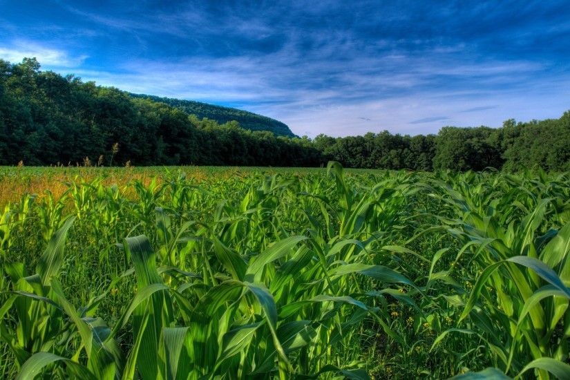 Corn Fields Wallpaper Plants Nature Wallpapers