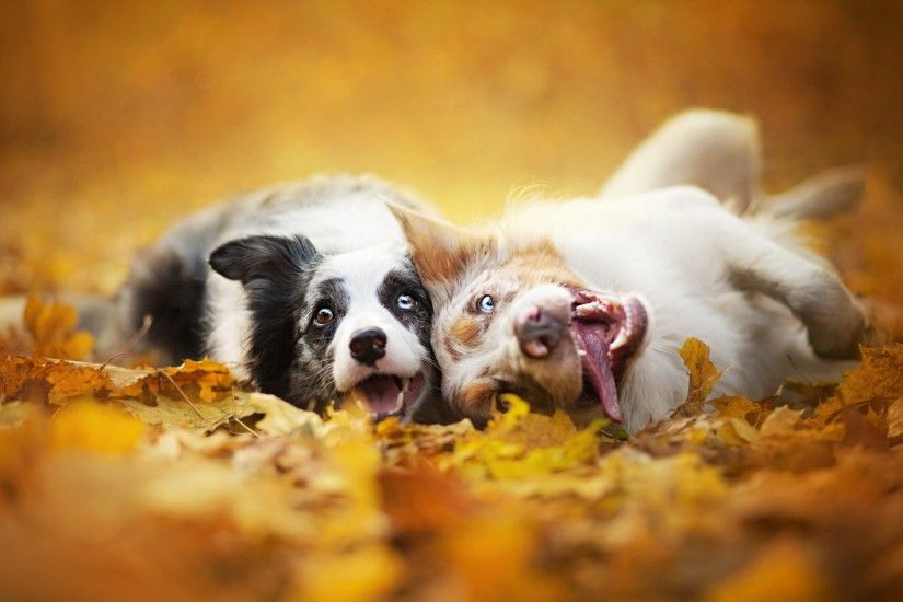 border collie dogs two of the muzzle leaves nature autumn