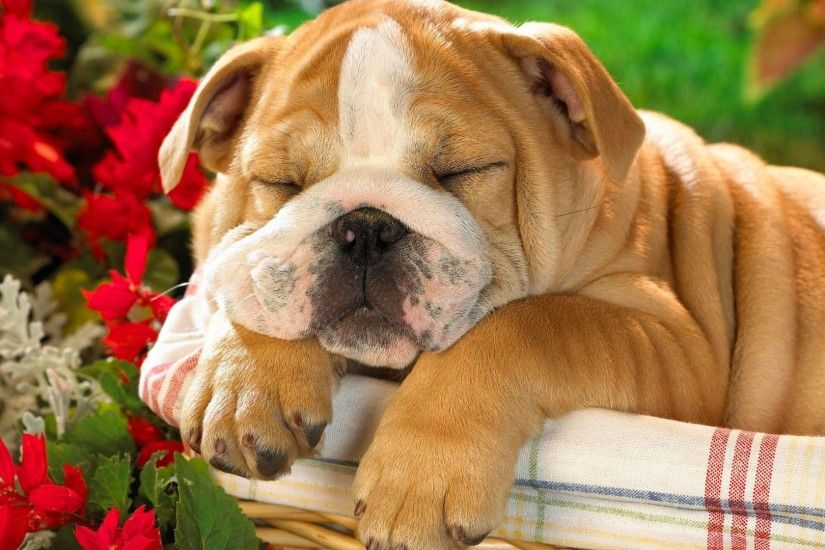 English Bulldog puppy wallpaper - Animal wallpapers - #7065