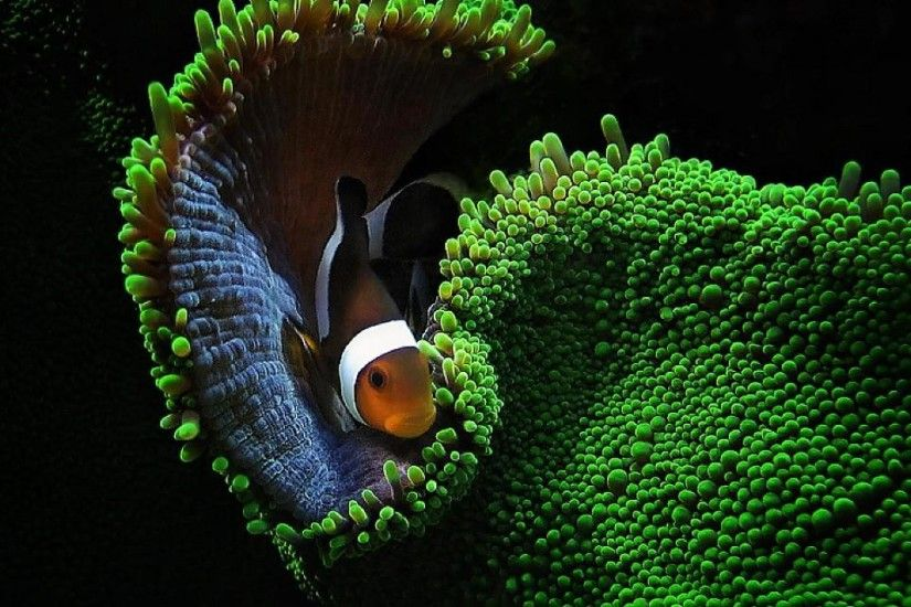pictures images clown fish wallpapers hd desktop wallpapers high definition  monitor download free amazing background photos artwork 1920×1200 Wallpaper  HD