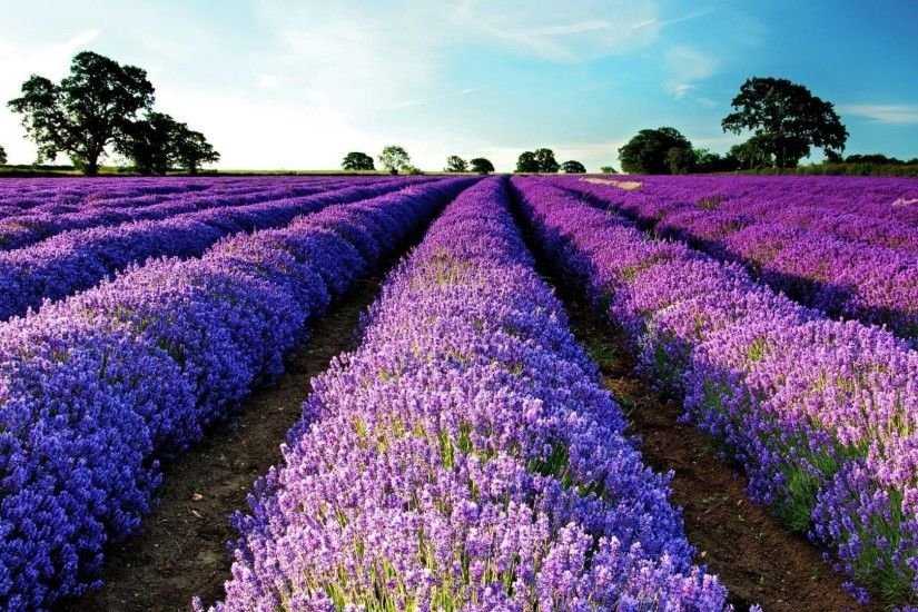 purple flower field wide background desktop wallpapers high definition  monitor download free amazing background photos artwork 1920×1080 Wallpaper  HD