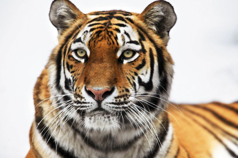 tiger hd wallpaper 0263