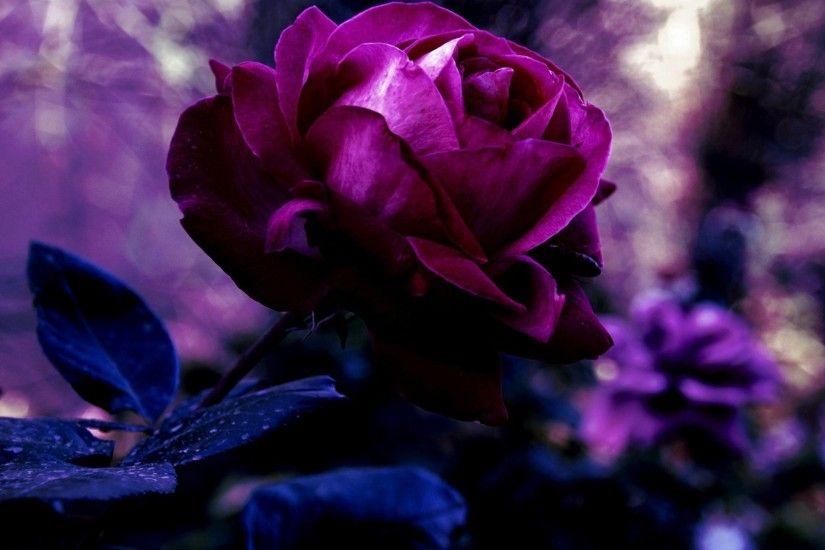 Purple rose wallpaper flag wallpapers hd wallpapers for free