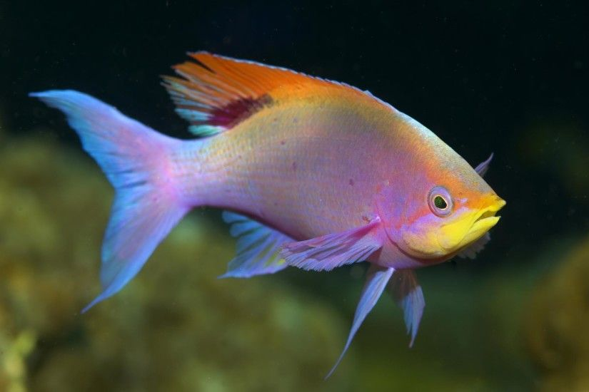 Colorful Fish - Wallpaper Wallpaper from Tropical Fish/Underwater Sea Life.