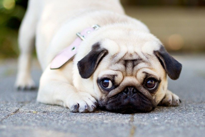 Cute Pug HD Wallpaper 1920x1080 Cute Pug HD Wallpaper 1920x1200