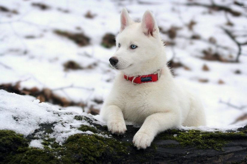 White siberian husky wallpaper 1920x1200 jpg