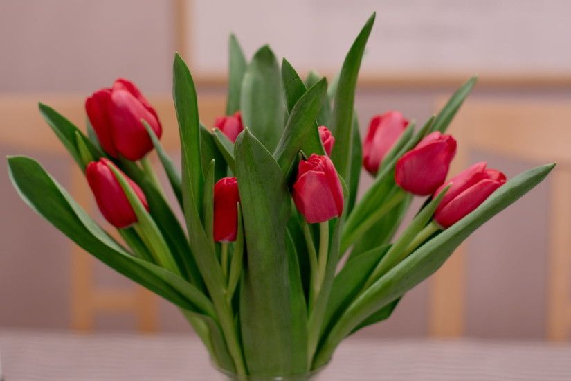 red tulips red tulips wallpaper