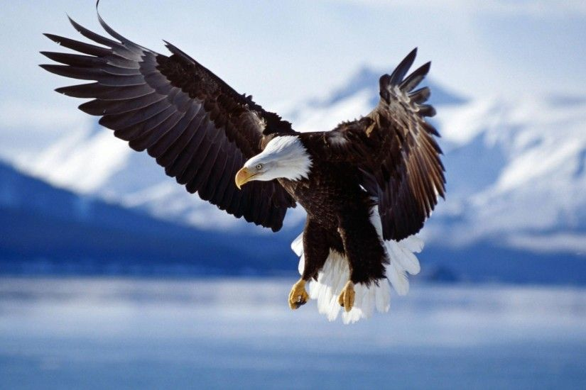 1920x1080 Bald eagle. How to set wallpaper on your desktop? Click the  download link from above and set the wallpaper on the desktop from your OS.