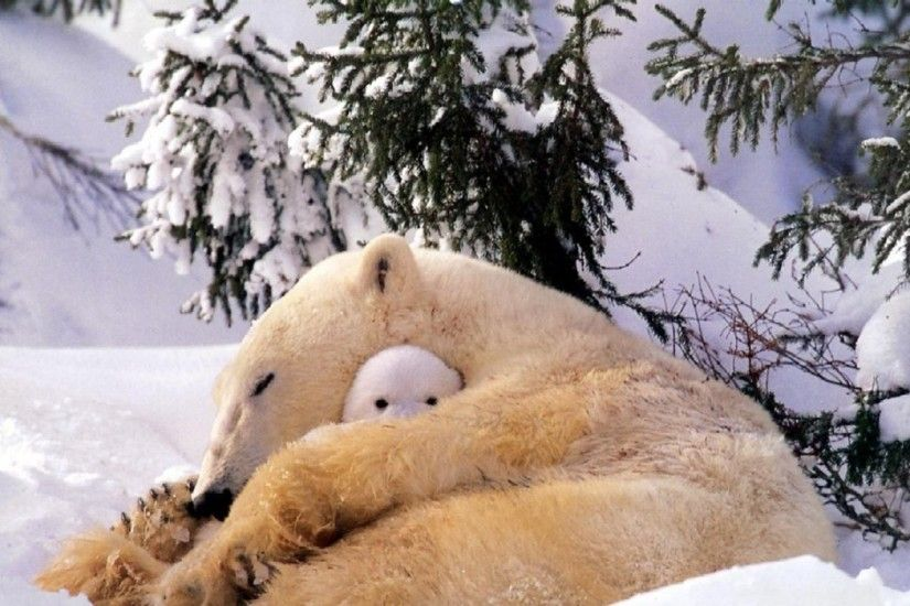 polar Bears, Animals, Baby Animals, Snow Wallpapers HD / Desktop and Mobile  Backgrounds