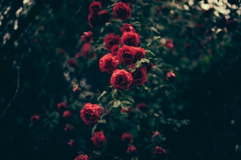 red rose bush in the morning fog vintage wallpaper photos
