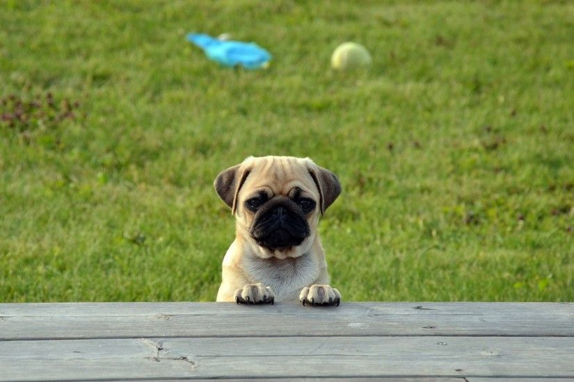 Pug Dog Puppy Cute Wallpaper
