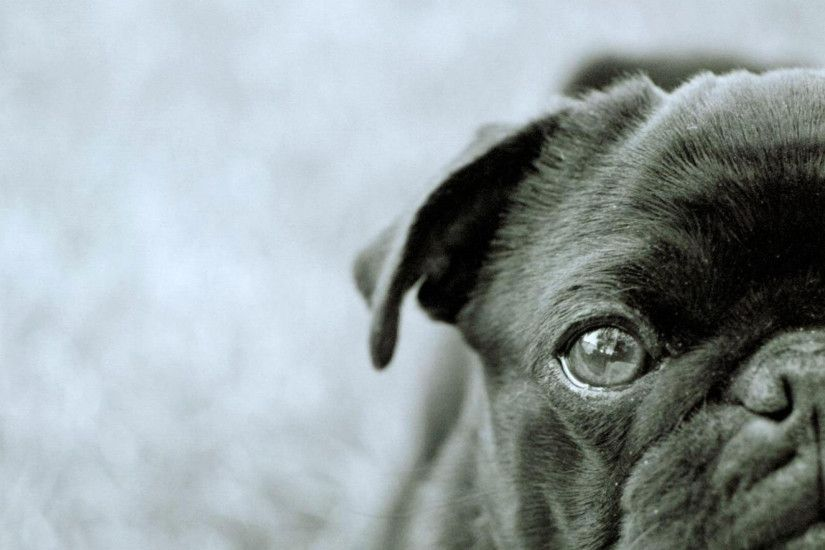 hd pics photos black pug dog animals hd quality desktop background wallpaper