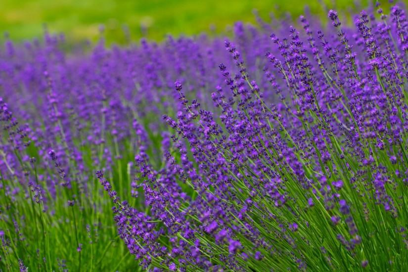 free download lavender background 1920x1200 for ios