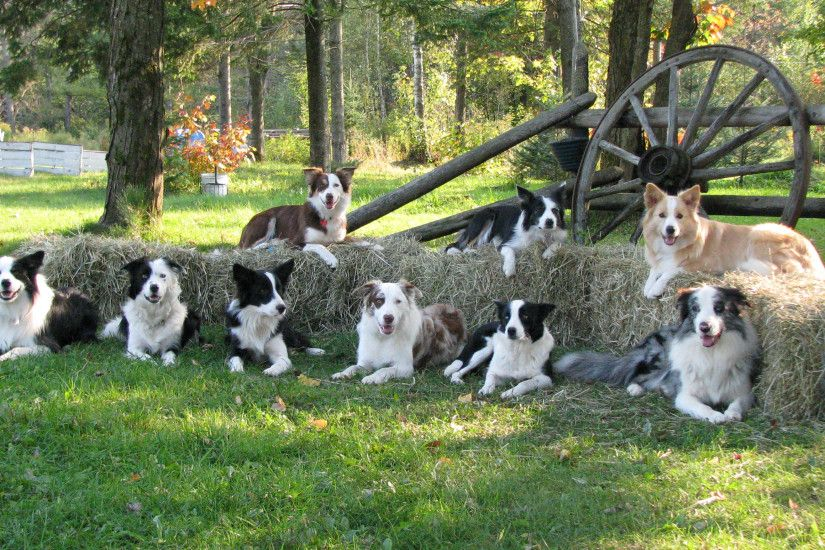 Family of dogs Border Collie